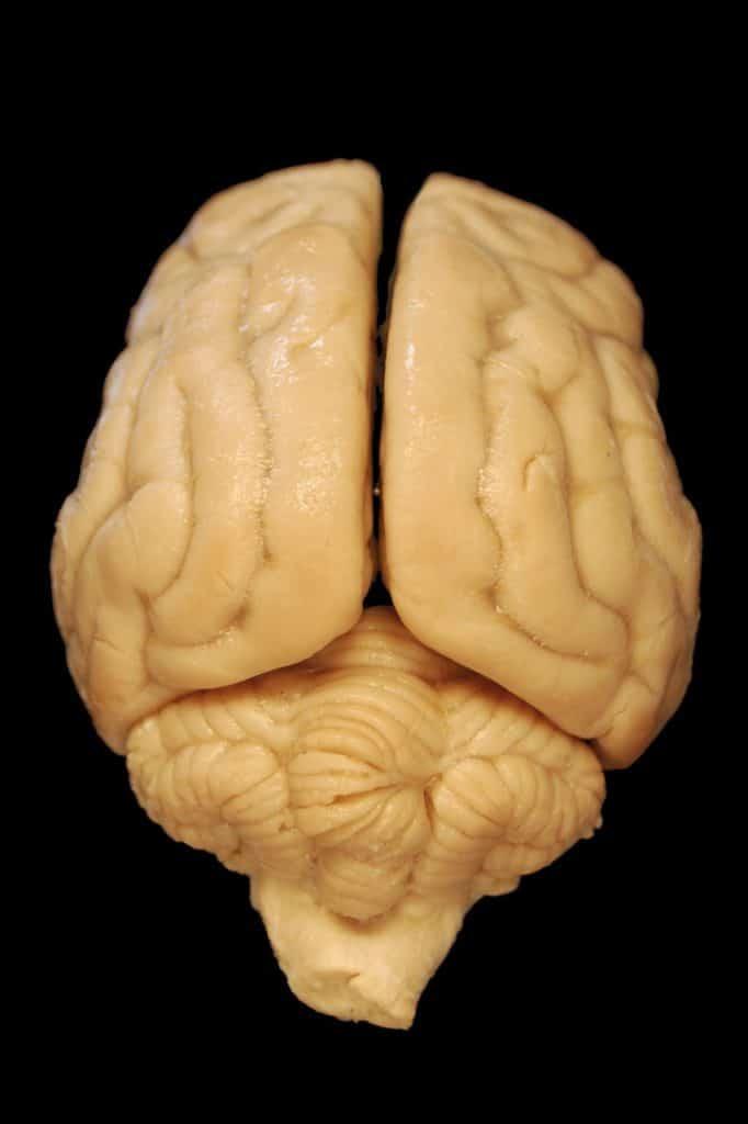 noix forme de cerveau