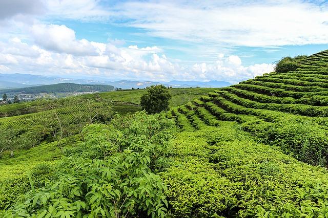 histoire thé vert