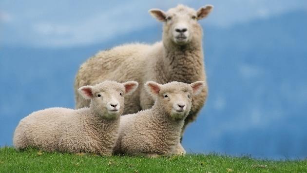 tondeuse naturelle-mouton