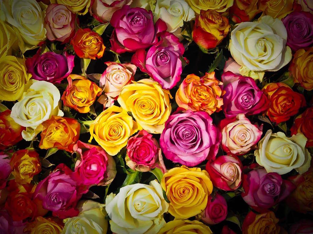 Comment Faire Secher Une Rose Fraiche gerri.fr