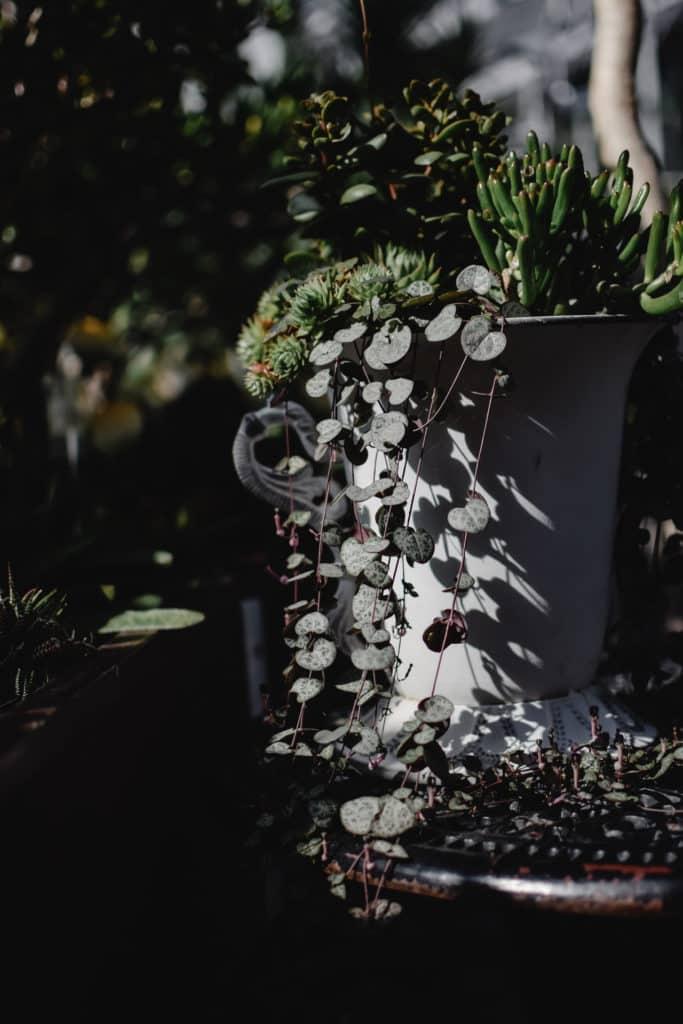 Entretien plantes succulentes